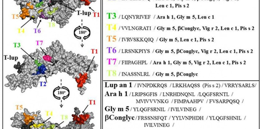Lupin allergy: uncovering structural features and epitopes of b-conglutin proteins in Lupinus angustifolius L. with a focus on cross-allergenic reactivity to peanut and other legumes