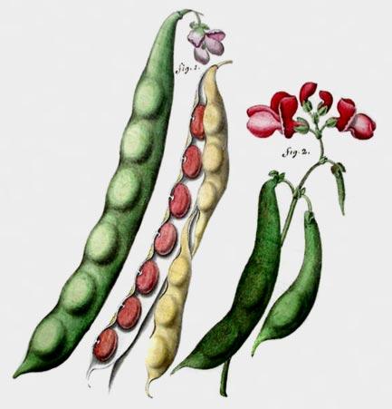 csic-leguminosas-alimentacion-salud-01