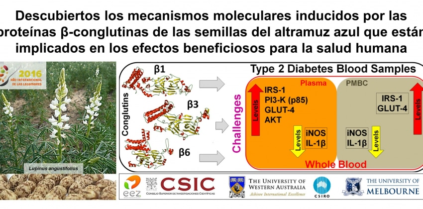 β-conglutin proteins modulate the insulin signalling pathway as potential type 2 diabetes treatment and inflammatory-related disease amelioration