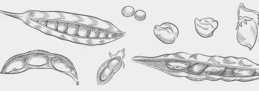 Leguminosas en la agricultura y la alimentación